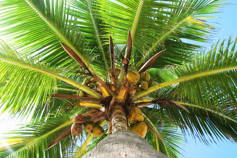 Four Branch Coconut Palm