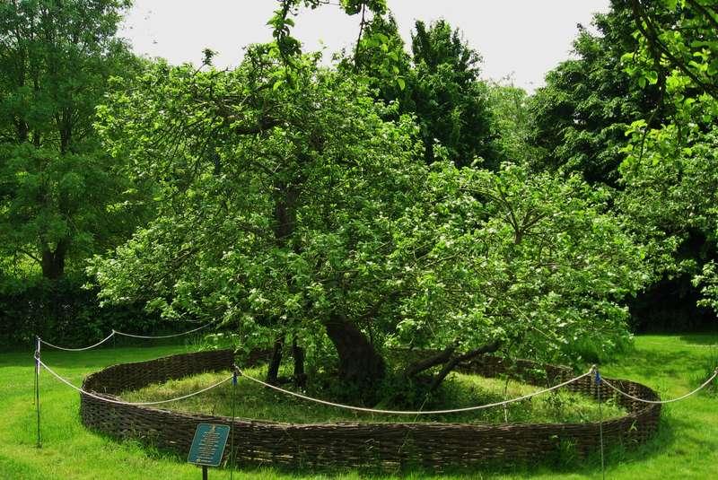 درخت سیب نیوتن لینکلن شایر