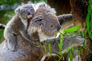 پارک کوالاها در بریزبن - استرالیا