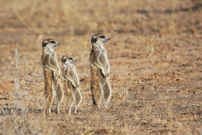 پارک کالاهاری آفریقای جنوبی