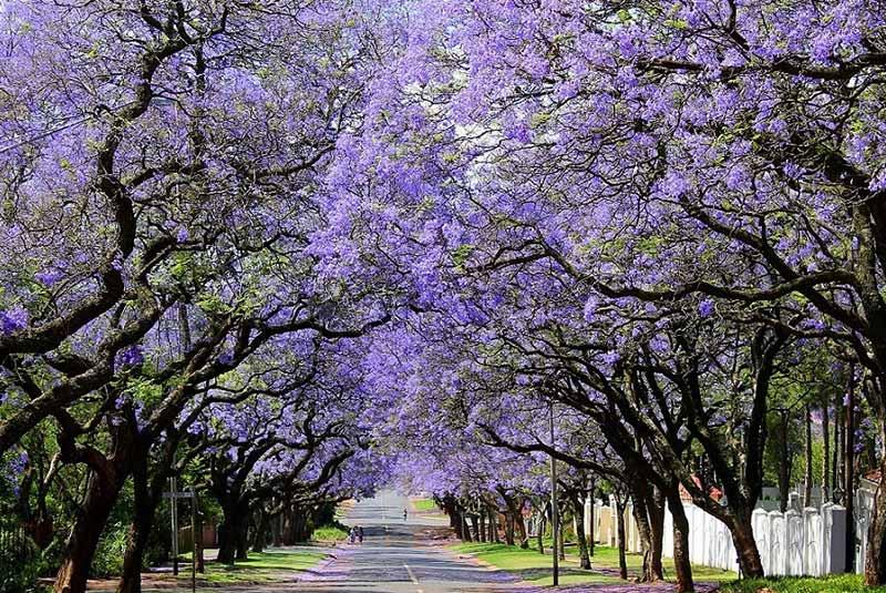 درختان جاکاراندا در پرتوریا
