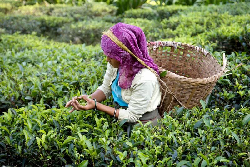 چای دارجلینگ سوغات هند