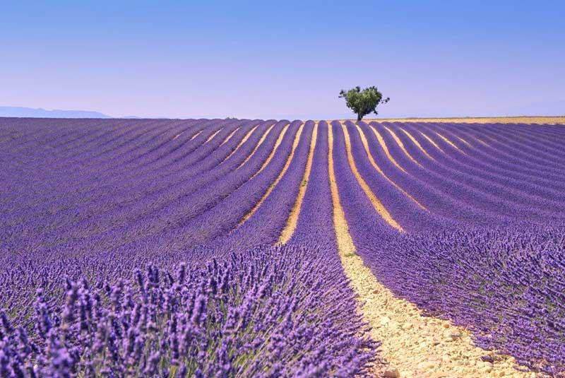 زمین های لوندر پرووانس در فرانسه