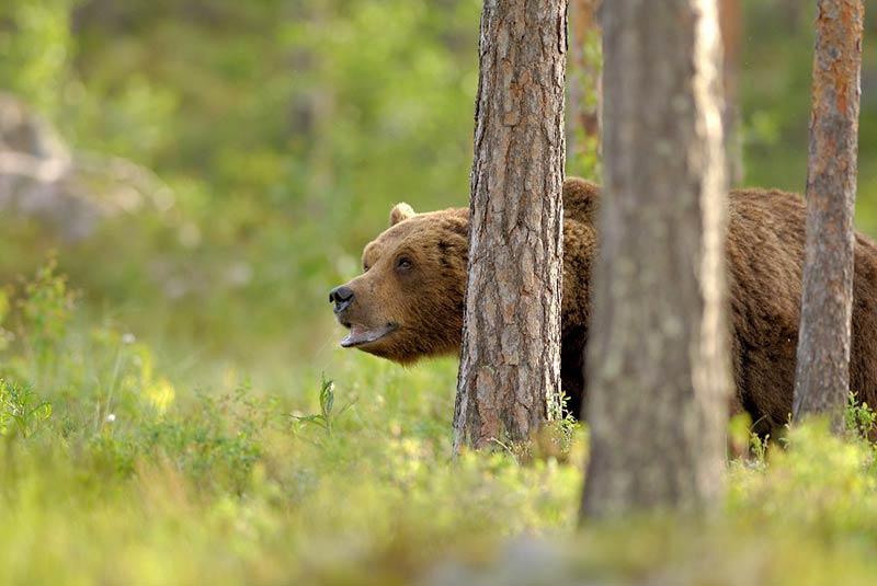 خرس های سوئد
