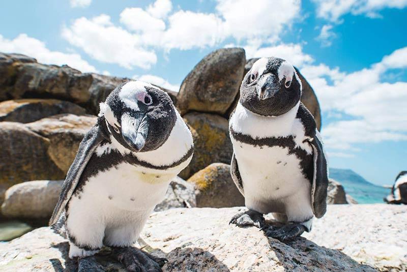پنگوئن های کیپ تاون