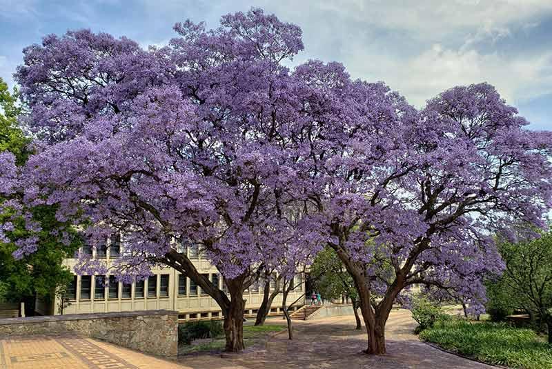 درخت جاکاراندا آفریقای جنوبی