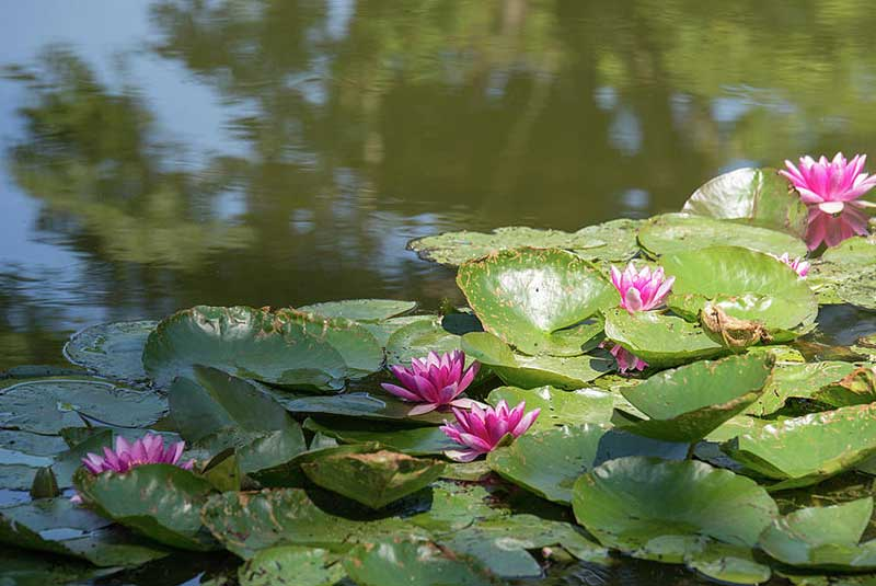 باغ نیلوفر مونه - ژیورنی فرانسه