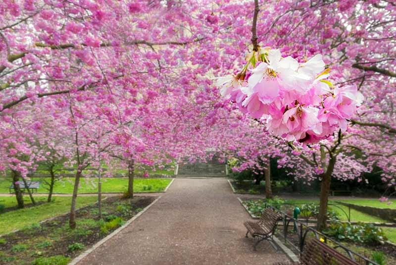 فستیوال شکوفه های گیلاس - گرجستان