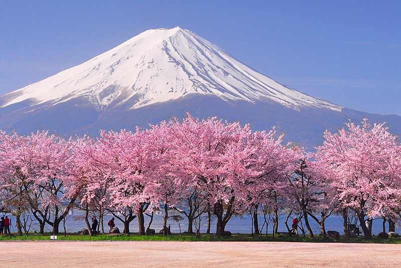 شکوفه گیلاس در ژاپن