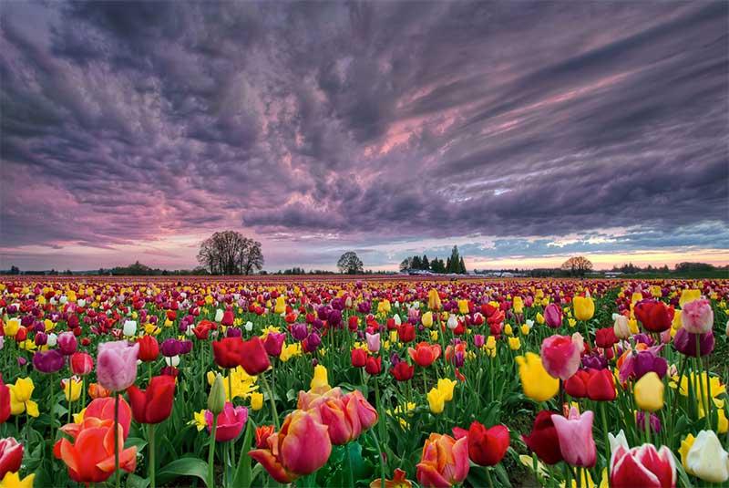 گل لاله هلندی