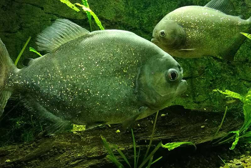 ماهی های کمیاب رودخانه آمازون