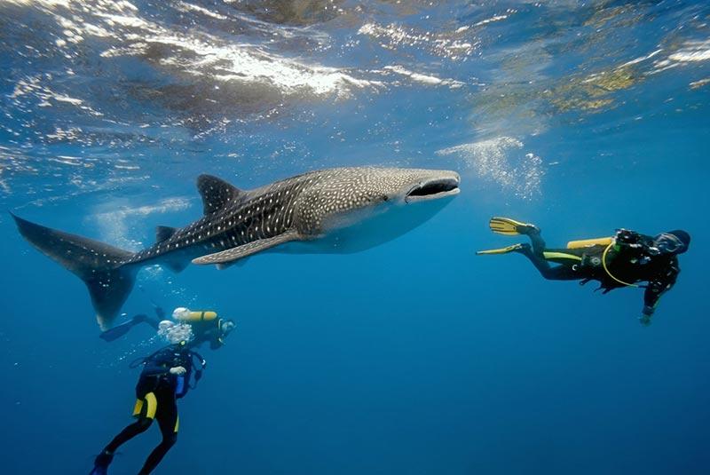 شنا کردن با کوسه نهنگ ها