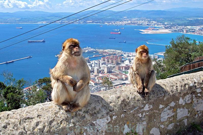 میمون های بربری ماکاک