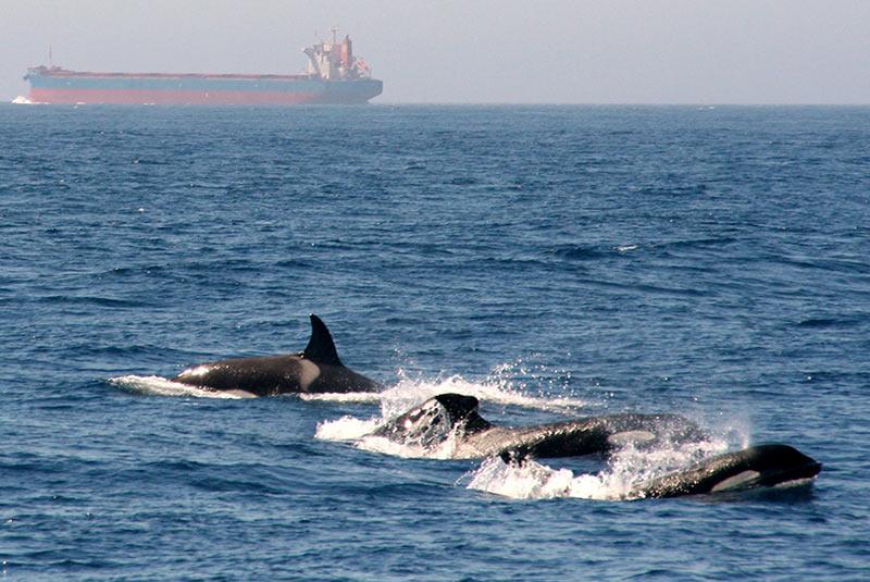 نهنگ ها در تنگه جبل الطارق